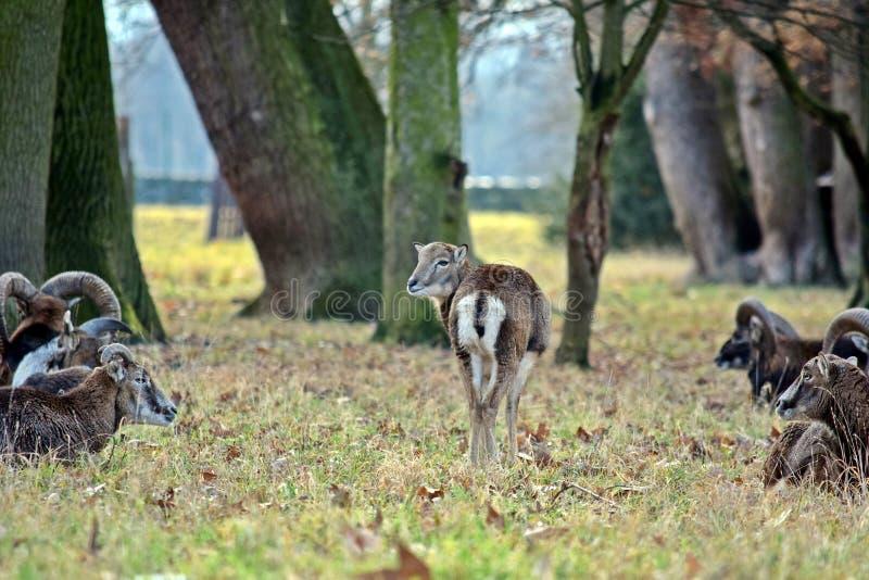 Κοπάδι Mouflon φωτογραφία χειμερινών στη δασική αποθεμάτων στοκ φωτογραφία