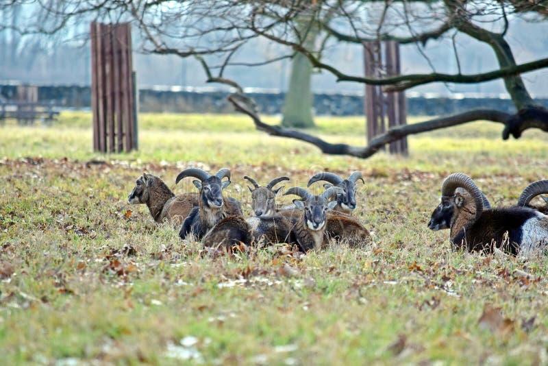 Κοπάδι Mouflon φωτογραφία χειμερινών στη δασική αποθεμάτων στοκ εικόνα με δικαίωμα ελεύθερης χρήσης