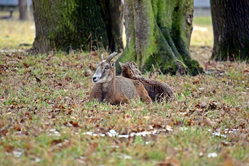 Κοπάδι Mouflon φωτογραφία χειμερινών στη δασική αποθεμάτων στοκ φωτογραφίες με δικαίωμα ελεύθερης χρήσης