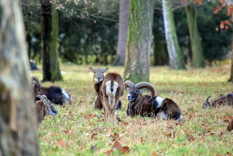 Κοπάδι Mouflon φωτογραφία χειμερινών στη δασική αποθεμάτων στοκ εικόνα