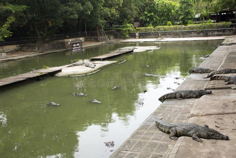 Κροκόδειλοι που κοιμούνται και που στηρίζονται και που κολυμπούν στη λίμνη στο πάρκο σε Nakhon Phatom, Ταϊλάνδη στοκ εικόνες με δικαίωμα ελεύθερης χρήσης