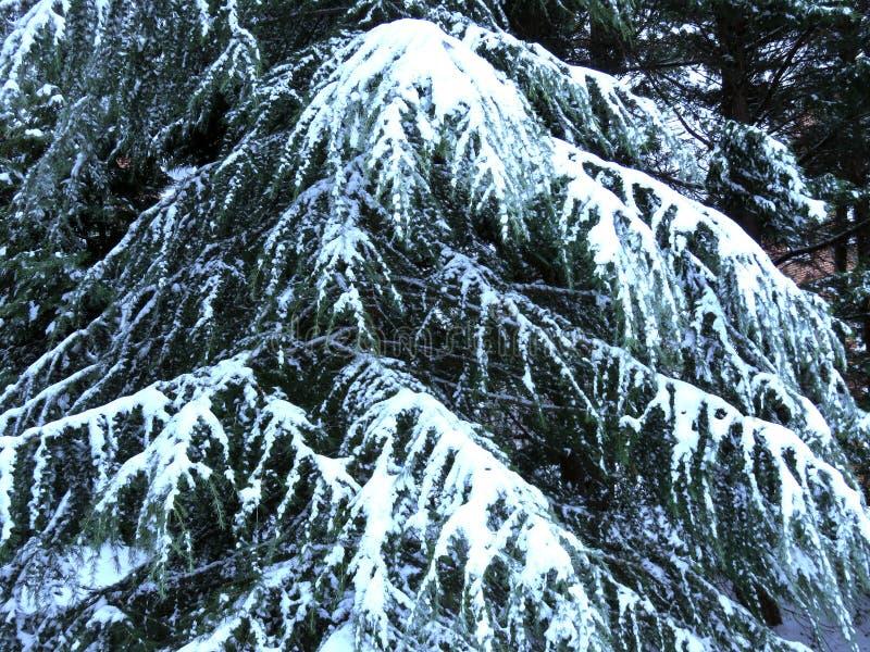 Κρύο μπλε αειθαλές δέντρο το χειμώνα στοκ φωτογραφίες με δικαίωμα ελεύθερης χρήσης