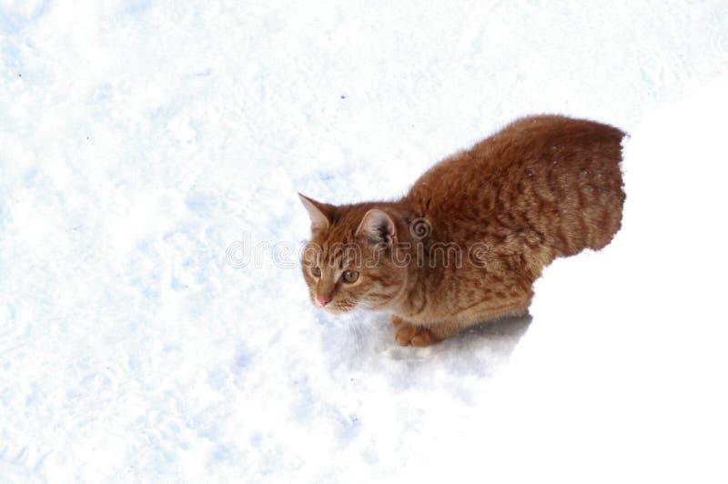 Κρύψιμο γατακιών πιπεροριζών πίσω από snowdrift στοκ εικόνες