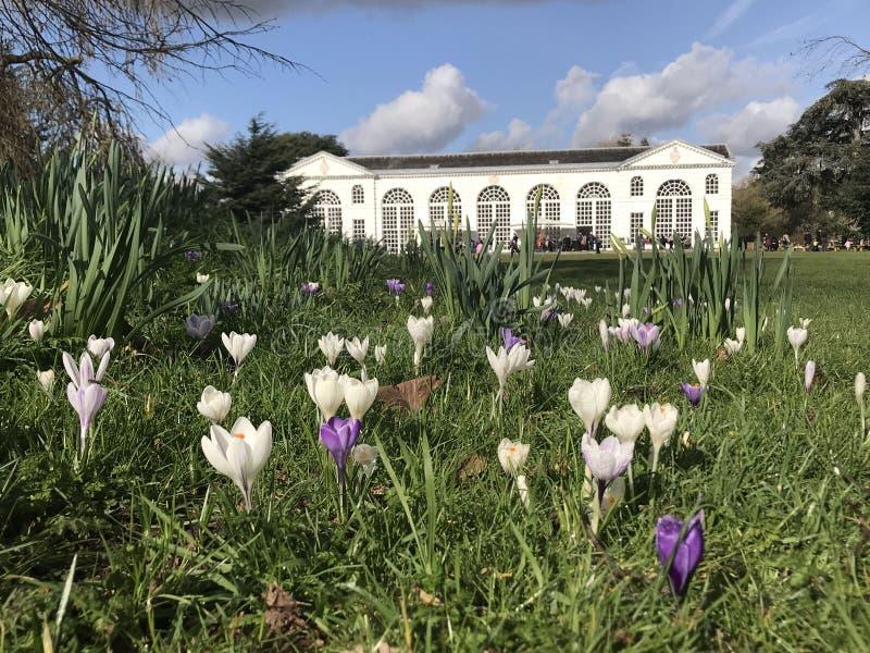 Κρόκοι που ανθίζουν την πρώιμη άνοιξη, κήποι Kew στοκ εικόνες
