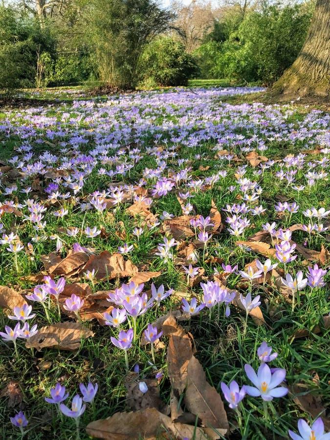 Κρόκοι που ανθίζουν την πρώιμη άνοιξη, κήποι Kew στοκ φωτογραφία