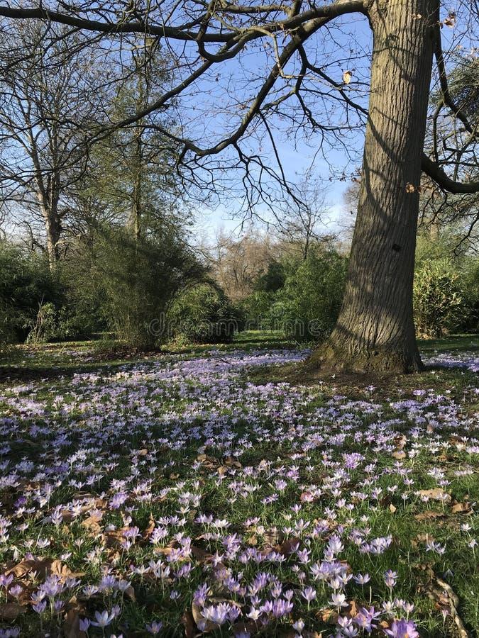 Κρόκοι που ανθίζουν την πρώιμη άνοιξη, κήποι Kew στοκ εικόνα με δικαίωμα ελεύθερης χρήσης