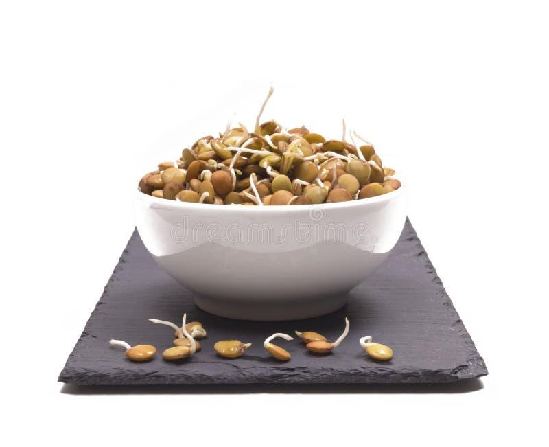 Κύπελλο των βλαστημένων σπόρων φακών που απομονώνονται στο άσπρο υπόβαθρο στοκ εικόνα με δικαίωμα ελεύθερης χρήσης