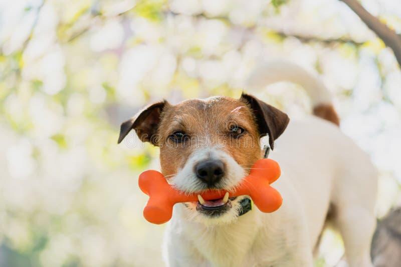 Κόκκαλο παιχνιδιών εκμετάλλευσης σκυλιών στο στόμα κάτω από τον κλάδο του ανθίζοντας δέντρου μηλιάς στοκ φωτογραφία με δικαίωμα ελεύθερης χρήσης