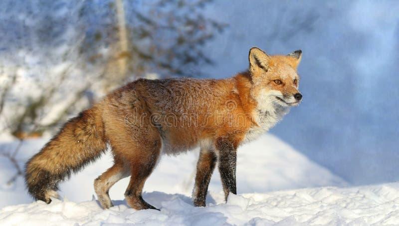 Κόκκινη αλεπού κατά τη διάρκεια του χειμώνα στοκ εικόνες