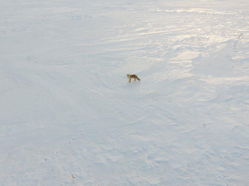 Κόκκινη αλεπού το χειμώνα στοκ φωτογραφία με δικαίωμα ελεύθερης χρήσης