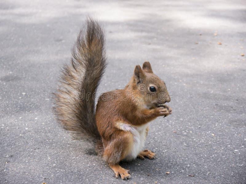 Κόκκινος σκίουρος στο έδαφος που τρώει την πλάγια όψη καρυδιών στοκ φωτογραφία με δικαίωμα ελεύθερης χρήσης