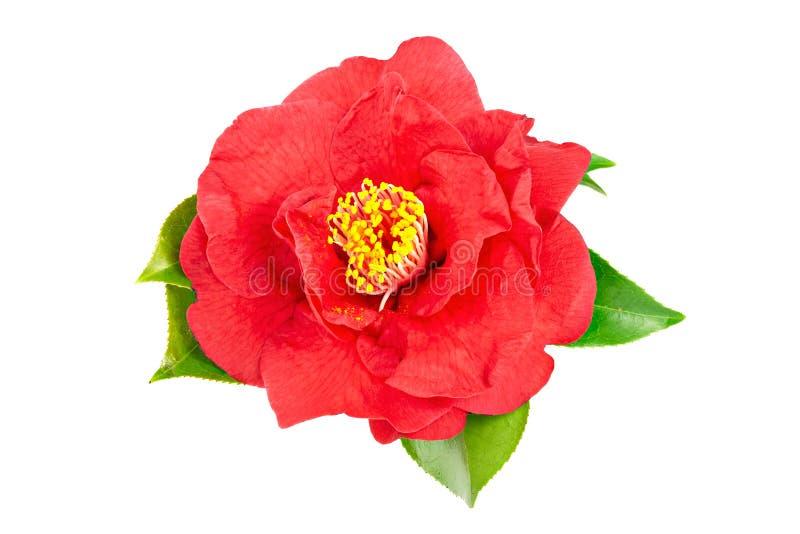 Κόκκινο λουλούδι καμελιών που απομονώνεται στο άσπρο υπόβαθρο στοκ εικόνες
