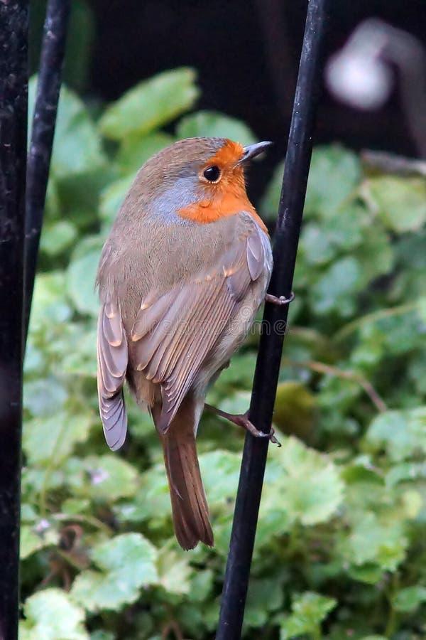 Κόκκινο στήθος της Robin στοκ φωτογραφία με δικαίωμα ελεύθερης χρήσης