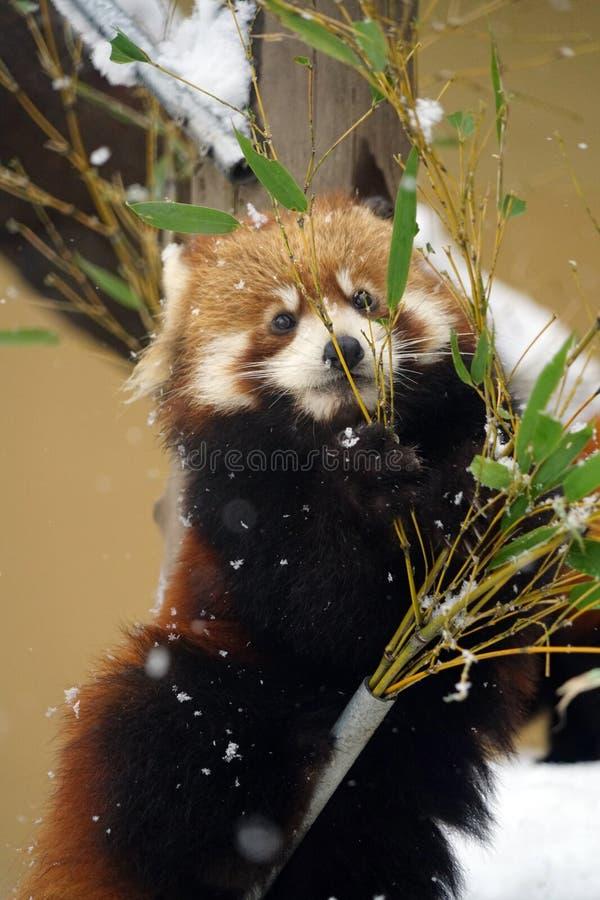 Κόκκινο panda στο ζωολογικό κήπο στοκ φωτογραφία