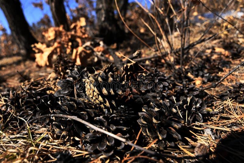 Κώνοι πεύκων που βρίσκονται στο έδαφος στοκ φωτογραφία με δικαίωμα ελεύθερης χρήσης