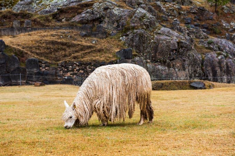 Λάμα στις καταστροφές Sacsayhuaman στο Περού στοκ εικόνες