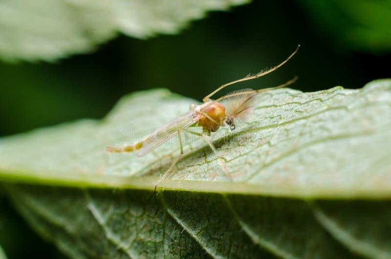 Λίγο κουνούπι στο φύλλο στοκ εικόνα με δικαίωμα ελεύθερης χρήσης
