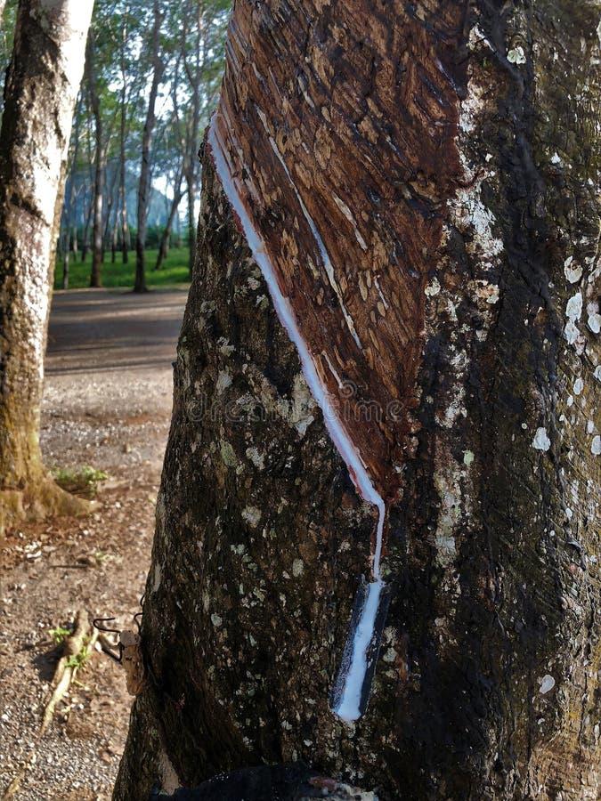 Λαστιχένια δέντρα στην απαγόρευση PA Nam RAD, Σουράτ Thani, Ταϊλάνδη στοκ εικόνες