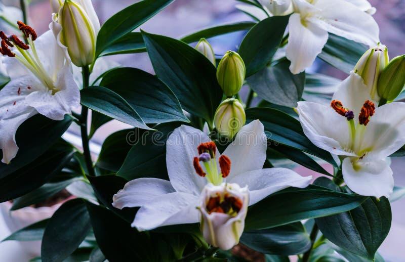 λευκό κρίνων ανθοδεσμών όμορφο λευκό κρίνων στοκ φωτογραφία με δικαίωμα ελεύθερης χρήσης