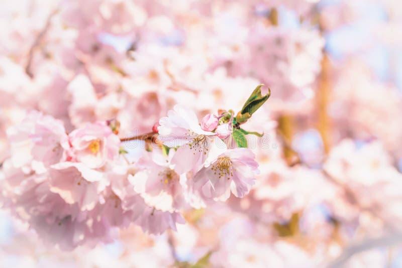 Λεπτό ρόδινο sakura ανθών κερασιών άνοιξη πλήρης άνοιξη λιβαδιών πικραλίδων ανασκόπησης κίτρινη στοκ φωτογραφία με δικαίωμα ελεύθερης χρήσης