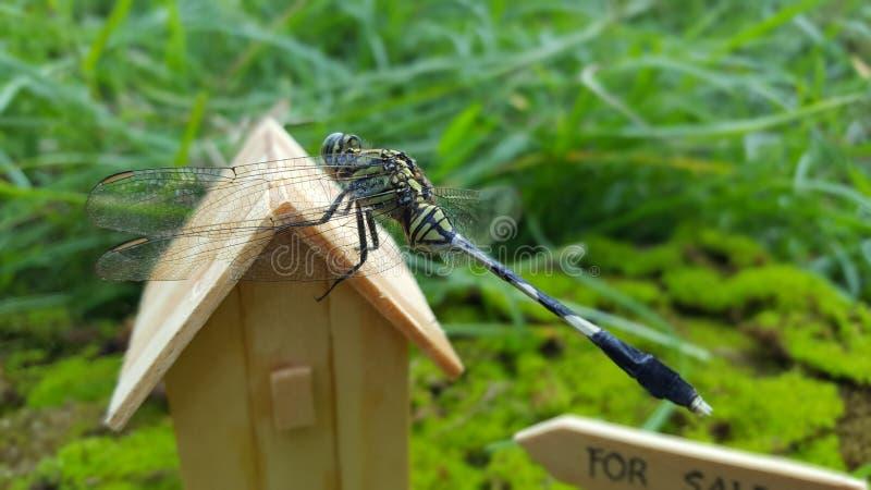 Λιβελλούλες, μια από τις οικογένειες των εντόμων που ζουν συνήθως στα τροπικά κλίματα στοκ φωτογραφίες
