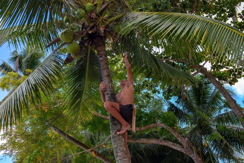 Λιμένας Barton, Φιλιππίνες - 25 Νοεμβρίου 2018: Ο ορειβάτης κοκοφοινίκων παίρνει τις καρύδες από το φοίνικα Κοκοφοίνικες που αναρ στοκ εικόνα