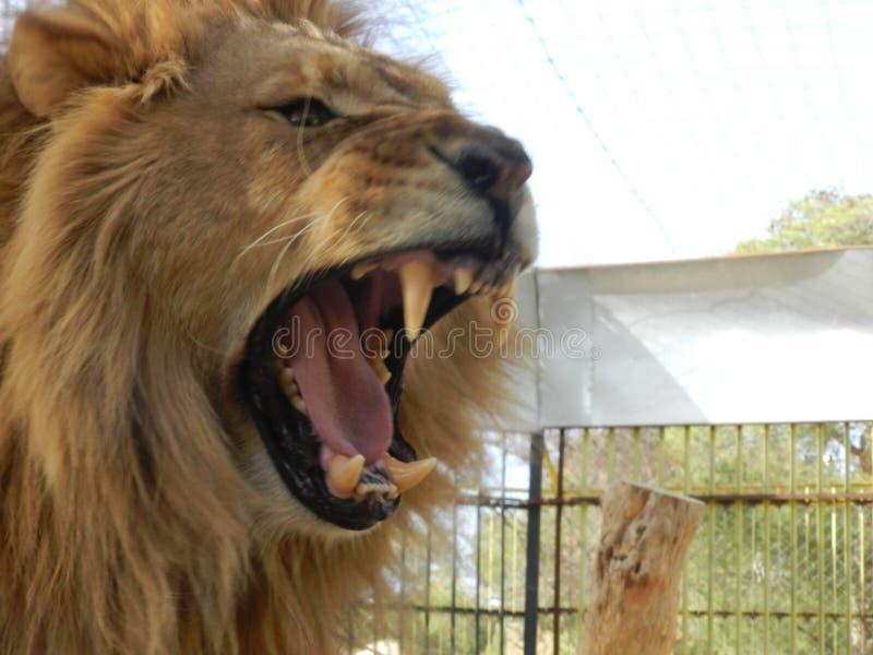 Λιοντάρι ζουγκλών βασιλιάδων στο ζωολογικό κήπο, όμορφο ζώο στοκ φωτογραφίες