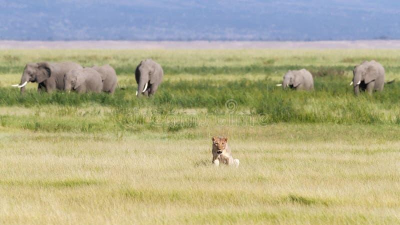 Λιονταρίνα, ελέφαντες και οι λόφοι Kilimanjaro, Amboseli στοκ εικόνα