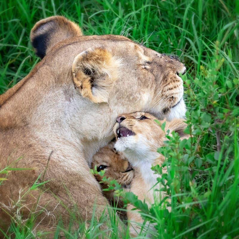 Λιονταρίνα και cubs στο Masai Mara, Κένυα στοκ φωτογραφία