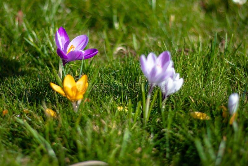 Λουλούδια κρόκων στην άνθιση, πορφύρα, κίτρινος και άσπρος, οριζόντια στοκ εικόνες