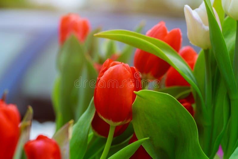 Λουλούδι άνοιξη με τα κόκκινα λουλούδια τουλιπών στοκ εικόνα