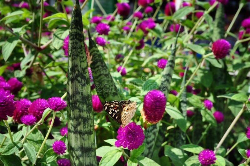 λουλούδι και πεταλούδα globosa gomphrena στοκ εικόνες με δικαίωμα ελεύθερης χρήσης