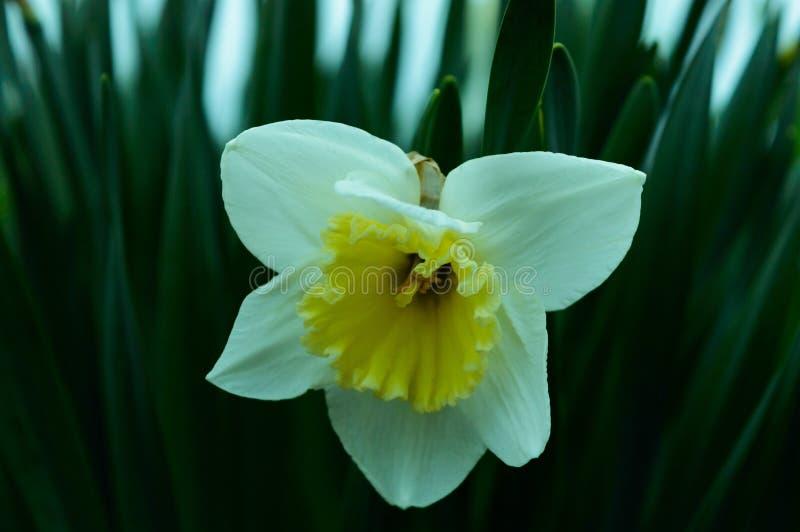 Λουλούδι ναρκίσσων στοκ φωτογραφία με δικαίωμα ελεύθερης χρήσης