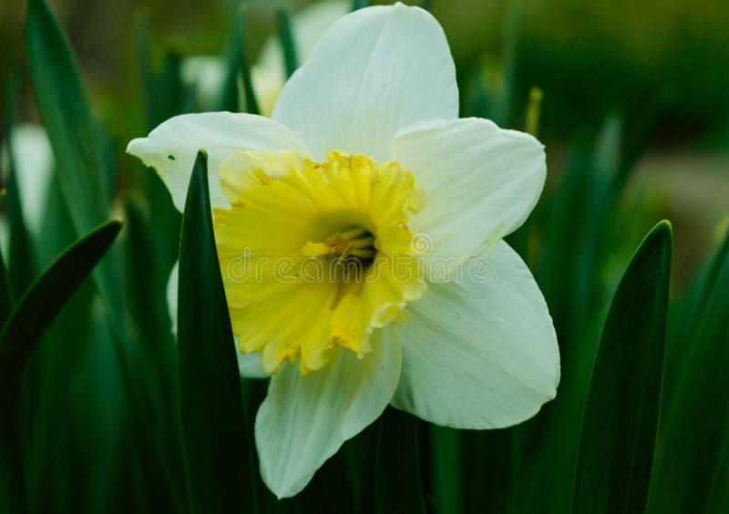 Λουλούδι ναρκίσσων στοκ φωτογραφία