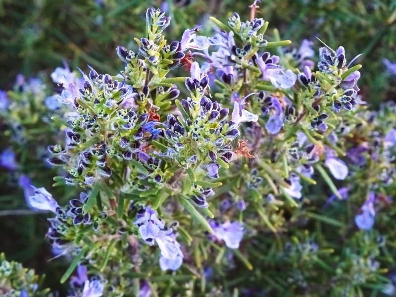 Λουλούδι της Rosemary στην πλήρη λαμπρότητα στοκ φωτογραφίες με δικαίωμα ελεύθερης χρήσης