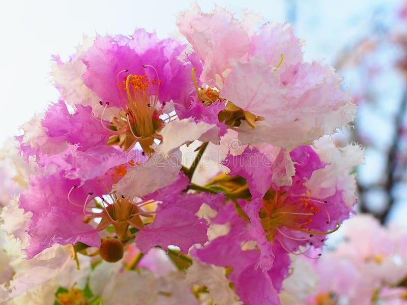 Λουλούδι loudonii Lagerstroemia ή floribunda Lagerstroemia της άνθισης στον κήπο τροπικών κύκλων στοκ φωτογραφία