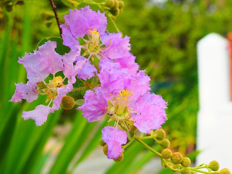 Λουλούδι loudonii Lagerstroemia ή floribunda Lagerstroemia της άνθισης στον κήπο τροπικών κύκλων στοκ εικόνες