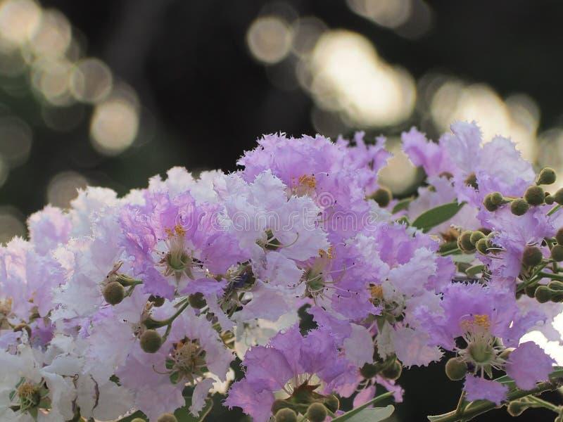 Λουλούδι loudonii Lagerstroemia ή floribunda Lagerstroemia της άνθισης στον κήπο τροπικών κύκλων στοκ φωτογραφίες με δικαίωμα ελεύθερης χρήσης