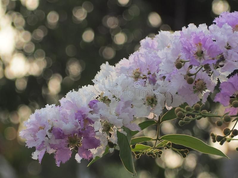 Λουλούδι loudonii Lagerstroemia ή floribunda Lagerstroemia της άνθισης στον κήπο τροπικών κύκλων στοκ φωτογραφίες