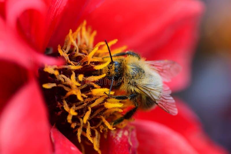 Μέλισσα σε ένα κόκκινο λουλούδι στοκ φωτογραφίες