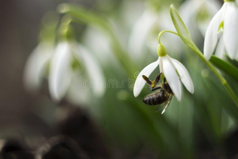 Μέλισσα στο snowdrop - πρόωρα άσπρα λουλούδια κινηματογραφήσεων σε πρώτο πλάνο άνοιξη και ταΐζοντας μέλισσα, μακροεντολή στοκ φωτογραφία