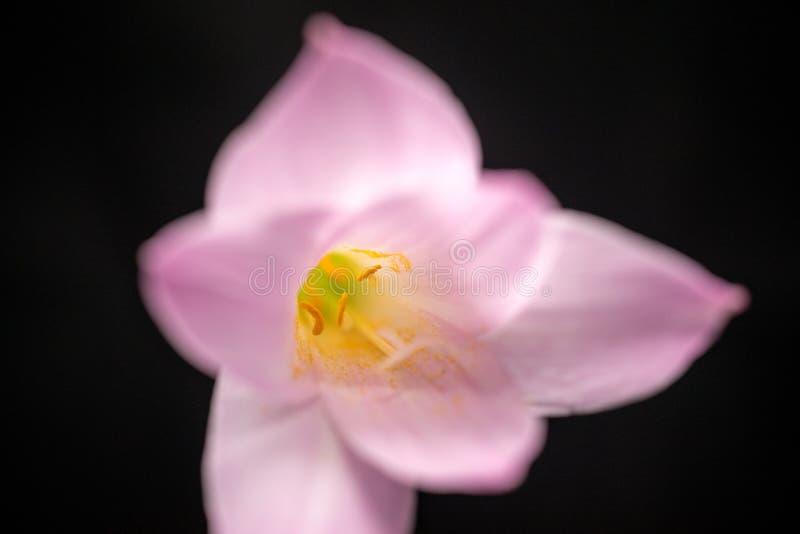 Μακροεντολή λουλουδιών κρόκων στοκ εικόνες