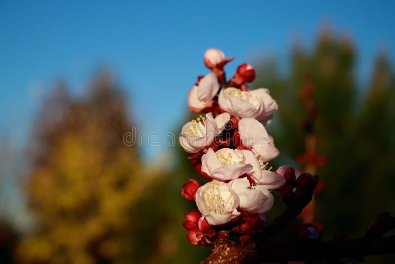 Μακρο άποψη των ανθών και των οφθαλμών δέντρων βερικοκιών Η άνοιξη είναι ερχόμενο υπόβαθρο Νωρίς ανθίζοντας στοκ φωτογραφία