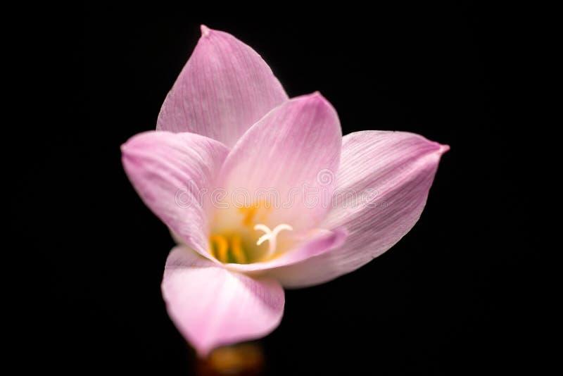 Μακρο μαύρο υπόβαθρο λουλουδιών κρόκων στοκ εικόνα με δικαίωμα ελεύθερης χρήσης