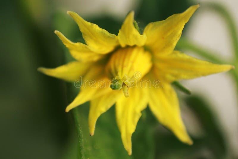 Μακρο φωτογραφία πετάλων λουλουδιών ντοματών στοκ εικόνες με δικαίωμα ελεύθερης χρήσης