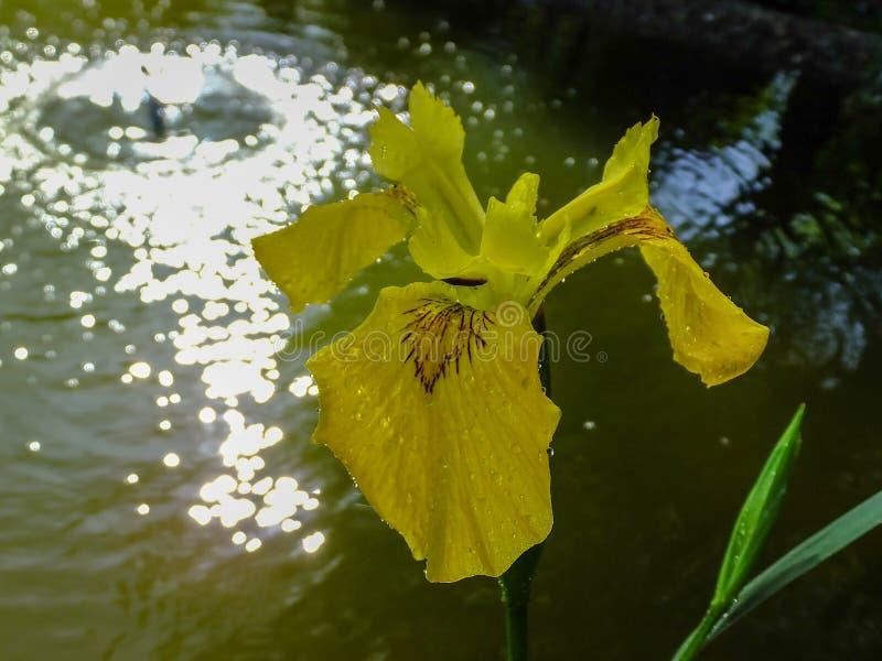 Μακρο πυροβολισμός της κίτρινης κίτρινης σημαίας pseudacorus της Iris λουλουδιών, κίτρινη ίριδα κοντά στην όμορφη λίμνη με την πη στοκ εικόνες με δικαίωμα ελεύθερης χρήσης