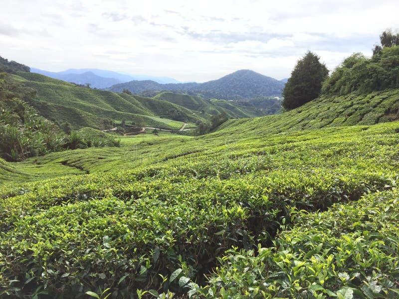Μαλαισιανή φυτεία τσαγιού στο Χάιλαντς του Cameron στοκ εικόνες