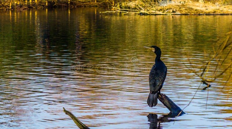 Μαύρη συνεδρίαση κορμοράνων σε έναν κλάδο δέντρων επάνω από το νερό, όμορφη σκηνή νερού στη φύση στοκ εικόνες