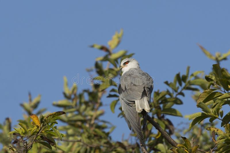 Μαύρος-φτερωτός ικτίνος Treetop στοκ εικόνα με δικαίωμα ελεύθερης χρήσης