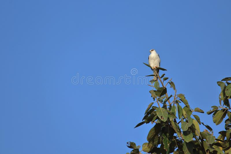 Μαύρο φτερωτό πουλί ικτίνων στοκ εικόνες